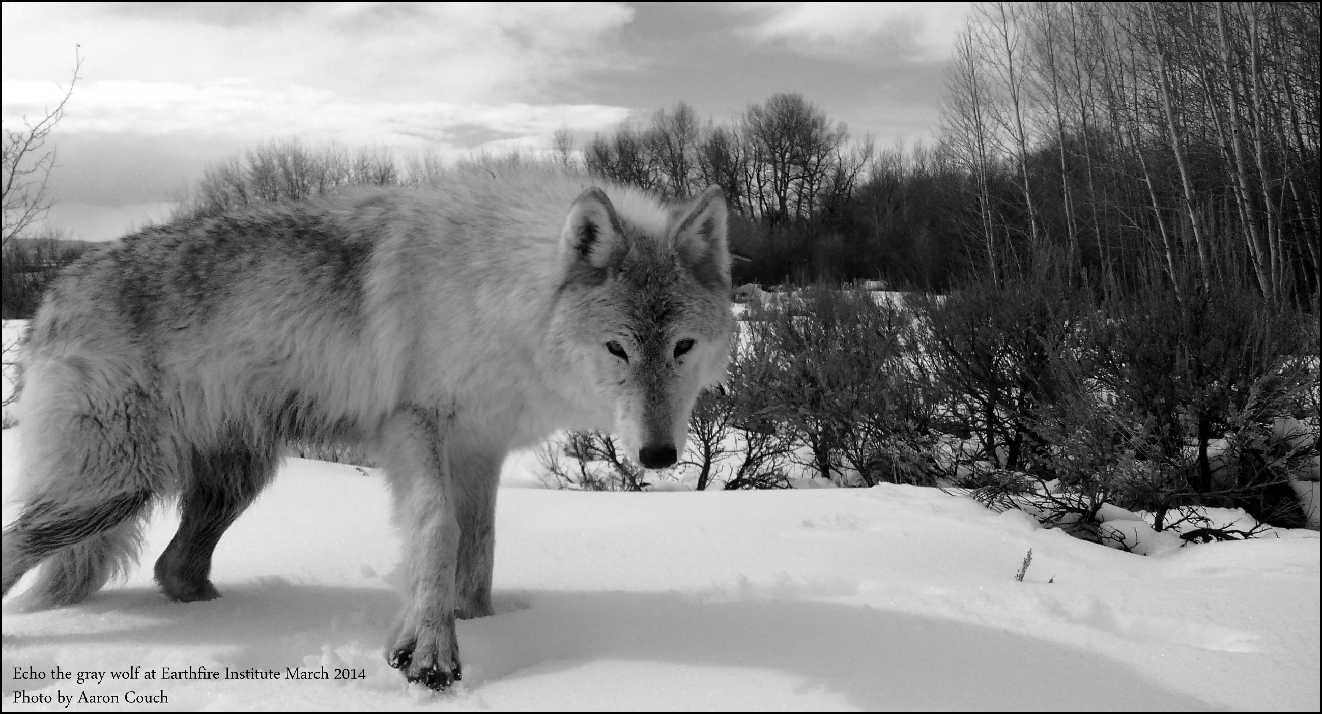 Echo the gray wolf – Earthfire Institute (March 2014)